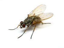House fly Royalty Free Stock Images