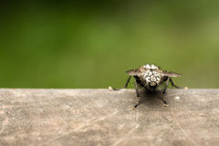 House Fly Back View Macro Stock Image