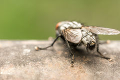 House Fly Back View Macro Stock Images