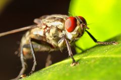 House fly,Blow fly on leaf stock photos