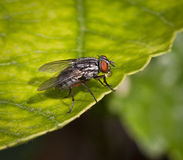 House Fly Blowing Bubble Royalty Free Stock Photography