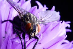 House fly on  chive flower Royalty Free Stock Photography