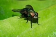 House Fly close up Royalty Free Stock Images