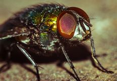 House Fly close up Stock Photography