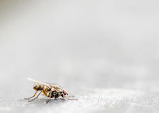 House fly. A close up of a housefly on a grey background Royalty Free Stock Images