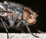 House fly close up Royalty Free Stock Image