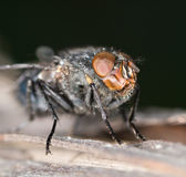House fly close up Stock Photo