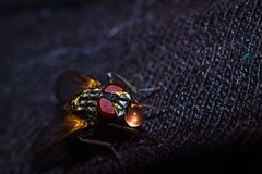 House Fly close up Royalty Free Stock Photos