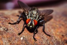 House Fly close up Royalty Free Stock Photography