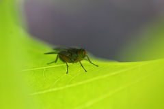 Fly on leaf macro Royalty Free Stock Image