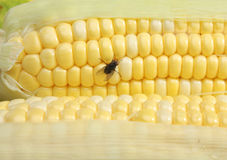 House Fly On Corn Cob Royalty Free Stock Photo