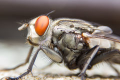 The House Fly dangerous carrier Royalty Free Stock Photo