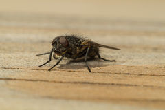 House fly. A house fly drinking from a drop of water held by his mouth Stock Photo