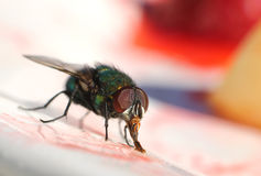 House fly eating sweet Royalty Free Stock Image