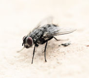 House fly Royalty Free Stock Image
