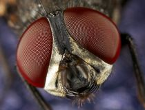 House fly eyes. A closeup of a house fly on a blue surface Royalty Free Stock Image