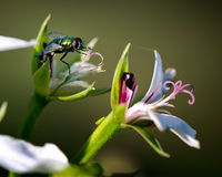 House Fly on Flower Macro Stock Photography