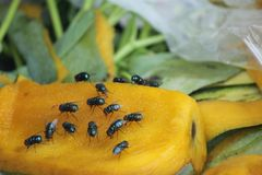 House fly, food contamination hygiene concept. The flies are insect carriers of cholera. Living on kitchen accessories, fruits, vegetables and food scraps. To Royalty Free Stock Photo