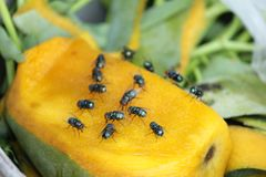 House fly, food contamination hygiene concept. The flies are insect carriers of cholera. Living on kitchen accessories, fruits, vegetables and food scraps. To Stock Photo
