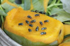 House fly, food contamination hygiene concept. The flies are insect carriers of cholera. Living on kitchen accessories, fruits, vegetables and food scraps. To Royalty Free Stock Images