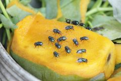 House fly, food contamination hygiene concept. The flies are insect carriers of cholera. Living on kitchen accessories, fruits, vegetables and food scraps. To Stock Images