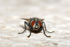House fly. In front view Royalty Free Stock Image