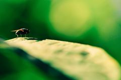 House Fly On Green Leaf Stock Photography