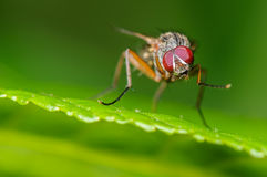 House Fly on Green. A Tiny Housefly on a Green Leaf and Background Royalty Free Stock Photo
