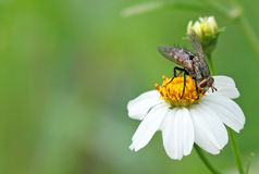 House fly hang on flower Royalty Free Stock Photo