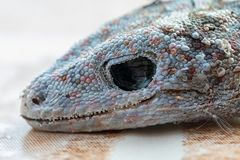 House fly on head of gecko is dead and dry skin stock photo