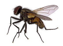 House fly - high magnification Stock Photos