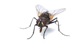 House fly isolated