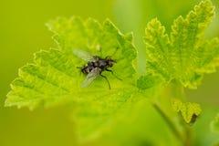 House fly on leaf Stock Photos