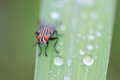 House fly Stock Photography