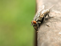 House Fly Macro Royalty Free Stock Photo