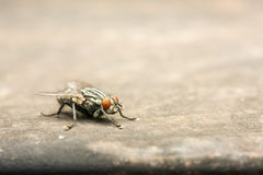 House Fly Macro Stock Images