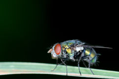 House fly Stock Images
