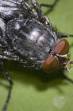 House fly macro on green Royalty Free Stock Images