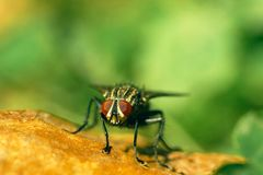 House Fly On Leaf. House Fly Macro On Leaf Stock Images