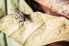 House fly Stock Image