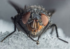 House Fly Macro Royalty Free Stock Images