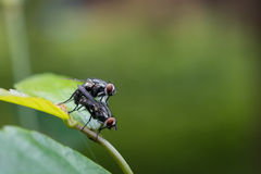 House Fly mating Royalty Free Stock Images