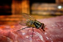 House Fly on meet close-up. One House Fly on meet close-up Royalty Free Stock Photos