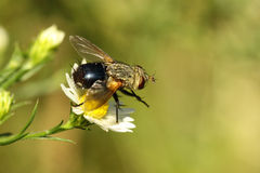 House Fly (Musca domestica) Royalty Free Stock Photography