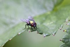 House fly, Musca domestica Royalty Free Stock Photography