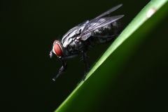 House Fly, Musca domestica sp. Stock Images
