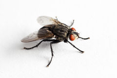 House fly (Muscidae Domestica). Macro on white background Royalty Free Stock Photos