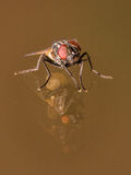 House Fly With Orange Eyes and Double Glass Reflection Royalty Free Stock Images