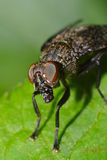 House Fly Portrait Royalty Free Stock Photo