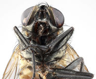 House Fly Portrait Stock Photo